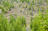 Lodgepole Pines in Yellowstone National Park after forest fire.  Wyoming, USA.