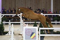 033 - Magic Boy van de Oostdijkhoeve<br /> Hengstenkeuring BWP - Azelhof - Koningshooikt 2015<br /> ©  Dirk Caremans