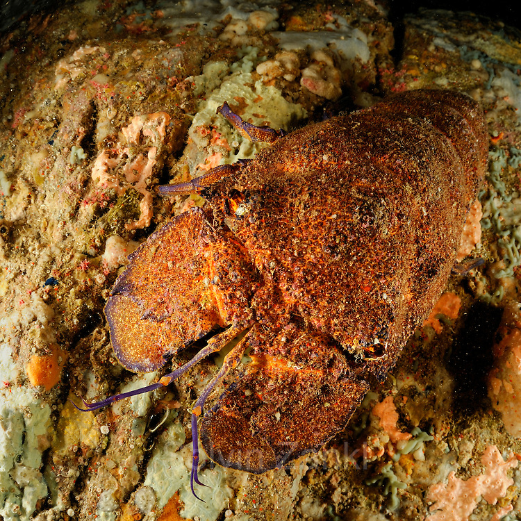 Mediterranean slipper lobster (Scyllarides latus) | Großer Bärenkrebs  (Scyllarides latus)