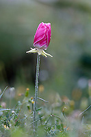 A pink Turban Buttercup (Ranunculus asiaticus), Hisarköy, Northern Cyprus