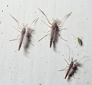 Chironomids from Uganda, Africa.