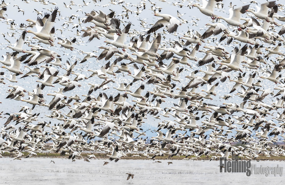 Snow geese taking off in the Colusa National Wildlife Refuge