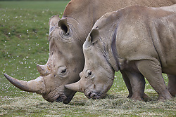 Southern White Rhino (Ceratotherium Simum) at the Cotswold Wildlife Park, Oxfordshire, UK