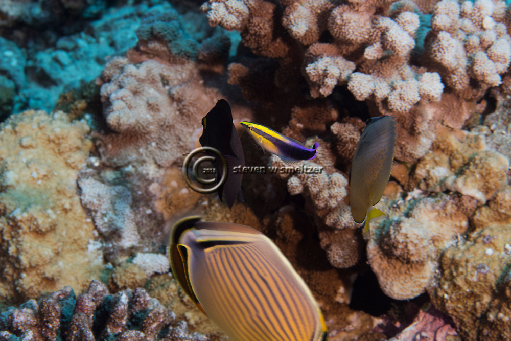 Rainbow Cleaner Wrasse, Labroides phthirophagus, Randall, 1958, Maui, Hawaii