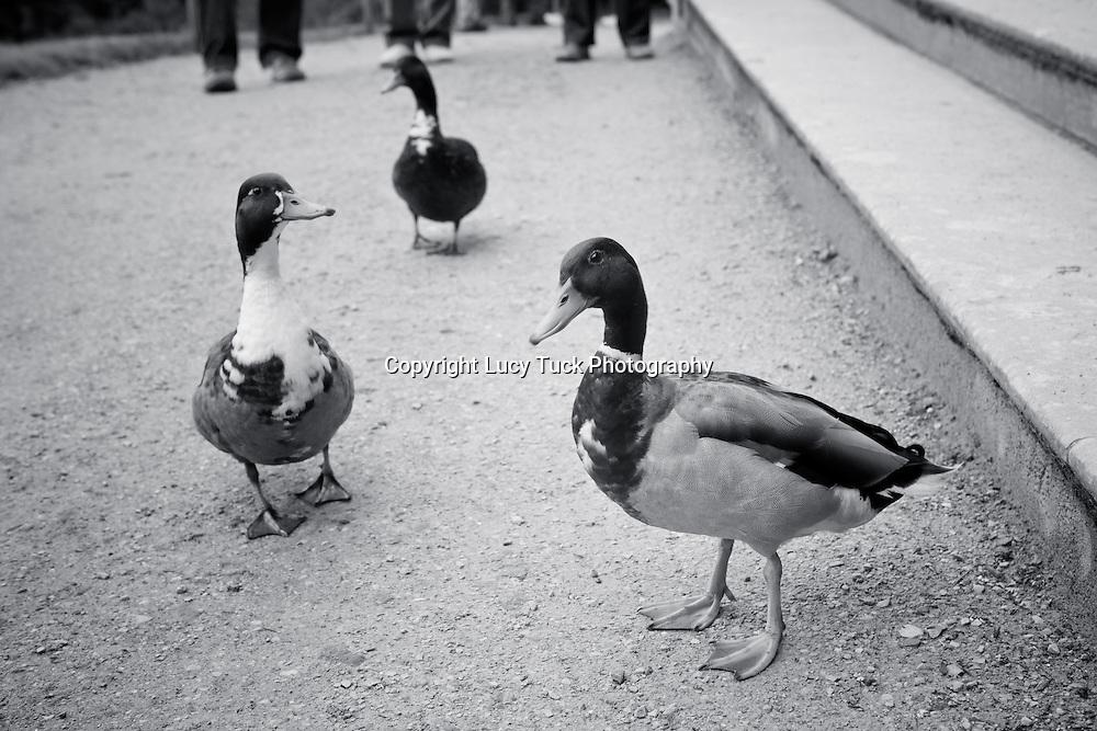 Ducks, curious ducks, pit pat paddle pat, waddling ducks