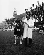A prizewinner in the Friesan Bull category at the RDS Bull Show.<br />