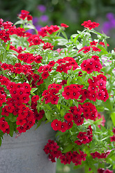 Phlox '21st Century Crimson' in a metal container