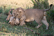 Two lions fighting.  Maasai Mara, Kenya.