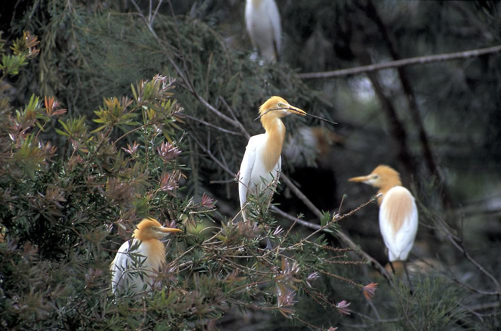 Cattle Egret, breeding.Ardea ibis.Australia