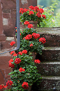 Pots of red geraniums on old stone steps in Collonges-la-Rouge, Dordogne, France