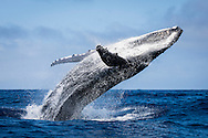 A male Megaptera novaeangliae (Humpback Whale) breaches off the coast of the Vava'u Island group in the Kingdom of Tonga..Thursday 30 August 2012..Photograph Richard Robinson © 2012.