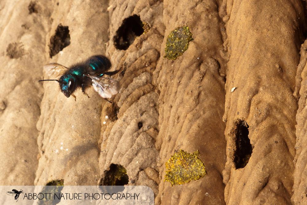 Osmia ribifloris (blueberry or mason bee) flying to old Trypoxylon nest<br /> TEXAS: Travis Co.<br /> Brackenridge Field Laboratory; Austin<br /> 8-March-2011<br /> J.C. Abbott