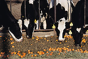 "Maddox Dairy in Riverdale, California. Dairy Cows eating surplus oranges, ground up for cattle feed. The Maddox family owns and operates three different locations: Maddox Dairy, RuAnn Dairy and Golden Genes. Maddox Dairy is currently home to 3500 milking cows, calves, heifers and bulls. The dairy is a ""birth to milking operation"", with four, double-12, pregnant herringbone-milking parlors, free stall barns, calf raising barn and calving facilities. The dairy does their own embryo transfer work and markets their genetics worldwide. The Maddox Dairy was honored in 2001 with the Distinguished Dairy Cattle Breeder award for being a ""Visionary Holstein Breeder"", having bred more than 330 Gold Medal Dams, 502 Excellent cows, and their advancements in gene research for the Dairy industry. .In Visalia, California, surplus whole naval oranges are fed to dairy cattle. Other surplus oranges are chopped up and dried in the sun for cattle feed by Sungro Co. near Bakersfield, California."