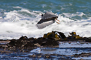 white-faced heron flying over Curio Bay