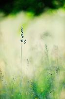 (Dactylis glomerata) Cocksfoot or Orchard Grass or Cocksfoot Grass, Mullerthal trail, Mullerthal, Luxembourg