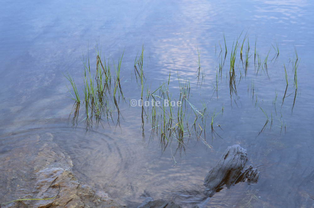 close up of grass growing in water