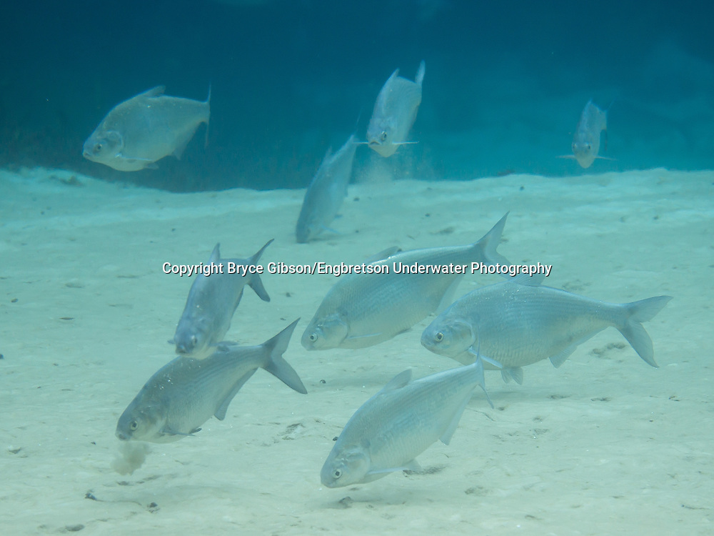 Gizzard Shad<br /> <br /> Bryce Gibson/Engbretson Underwater Photography
