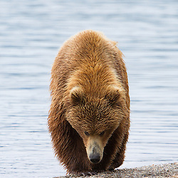 A brown bear walks the beaches of Naknek Lake in Katmai National Park.