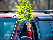 "05 APRIL 2020 - DES MOINES, IOWA:  A person waves their palm branch during a drive through Palm Sunday service sponsored by Luther Memorial Church on the campus of Grand View University in Des Moines. About 150 people attended the service. They remained in their cars while the ministers read a short passage from the Bible, handed out palms and blessed them. On Sunday, 05 April, Iowa reported 868 confirmed cases of the Novel Coronavirus (SARS-CoV-2) and COVID-19. There have been 22 deaths attributed to COVID-19 in Iowa. Restaurants, bars, movie theaters, places that draw crowds are closed until 30 April. The Governor has not ordered ""shelter in place"" but several Mayors, including the Mayor of Des Moines, have asked residents to stay in their homes for all but essential needs. People are being encouraged to practice ""social distancing"" and many businesses are requiring or encouraging employees to telecommute.        PHOTO BY JACK KURTZ"