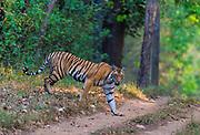 Female Bengal tiger (Panthera tigris tigris) in Kanha National Park, India.