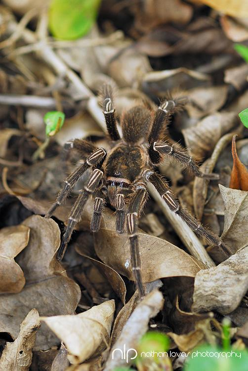 Tarantula in leaf debris;  St. John, USVI in wild.