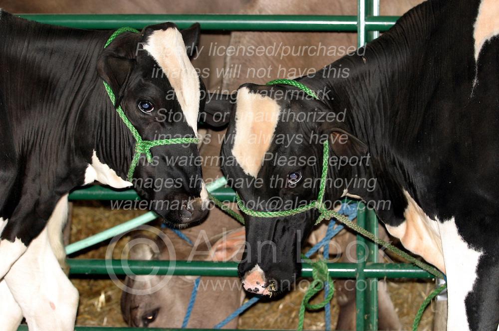 Milk Cows (Photo by Alan Look)