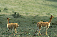 July 1995, Ecuador --- Young Vicunas --- Image by © Owen Franken/CORBIS