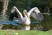 Close up of a Pelican in a lake