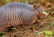 An armadillo, with its scaled, lizardlike shell, walks by - Mississippi.