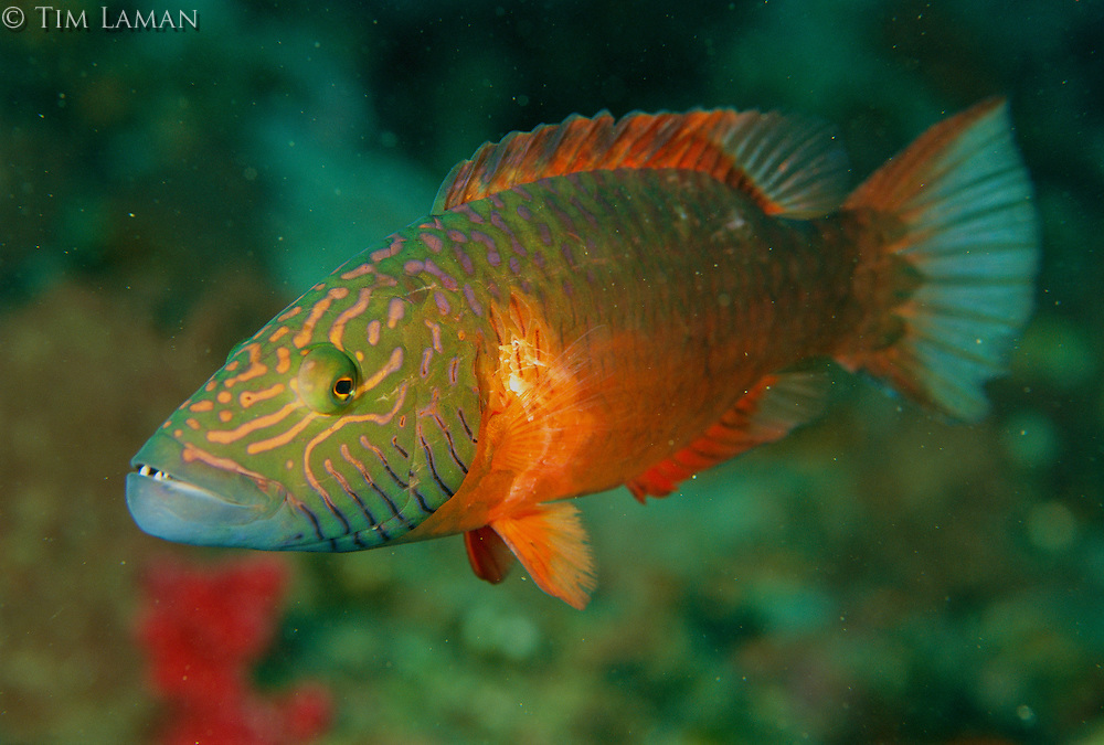 A Barcheek Wrasse (Cheilinus diagrammus) basic coloration when not displaying (see image MM7148_0019 for displaying color)