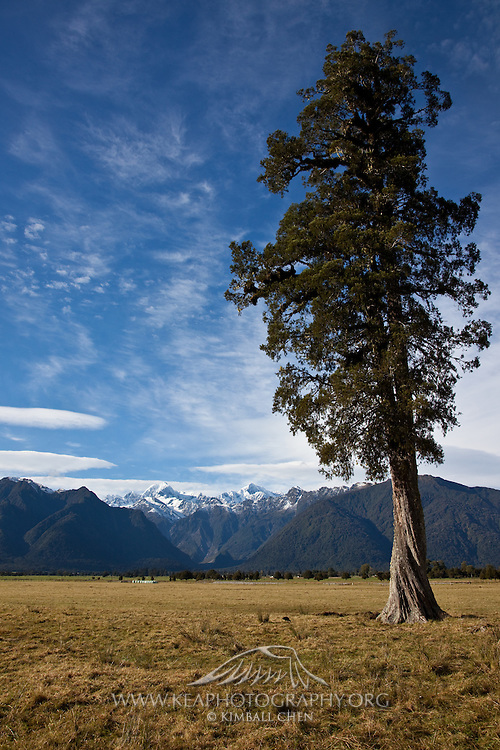 Lone tree with view of Southern Alps in the distance, at West Coast, New Zealand