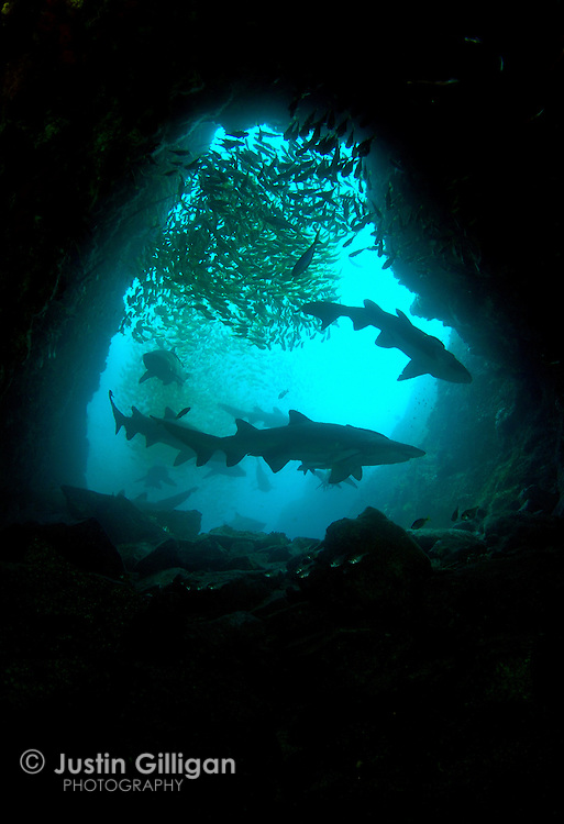 Grey nurse sharks (Carcharias taurus) in a shallow cave entrance, photographed in Fish Rock Cave, South West Rocks, New South Wales, Australia, Pacific Ocean.