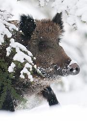 Portret van wild zwijn in sneeuw; Wild boar in snow