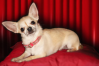 Chihuahua lying on red pillow