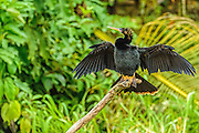 Anhinga - Anhinga anhinga sitting on a branch with its wings spread