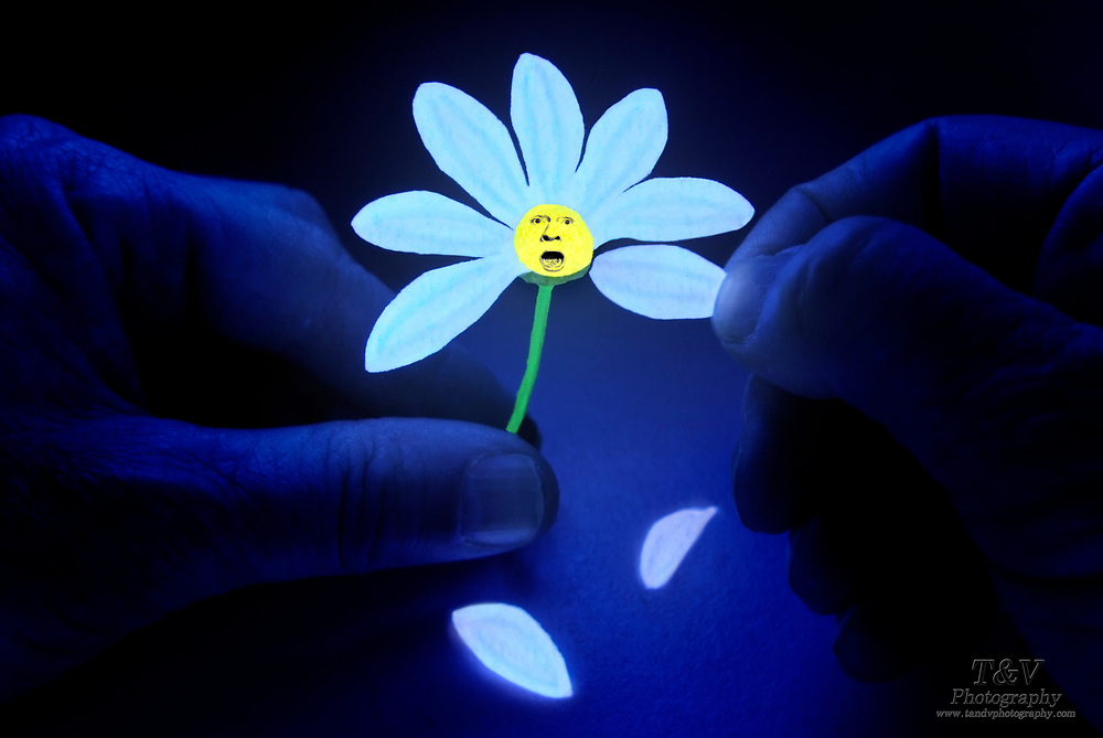 A pair of hands pulls the petals off of a glowing daisy. Blacklight photography.