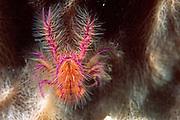 Scheinhummer (Lauriea siagiani) auf faßfoermigem Schwamm (Petrosia testudinaria) | Galatheid crab (Lauriea siagiani)