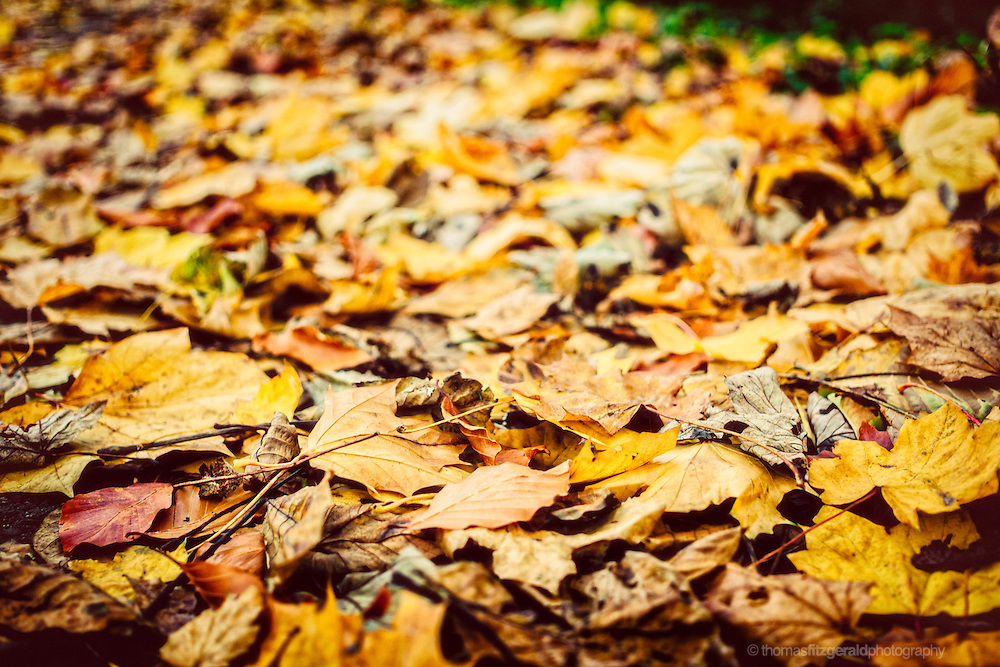 Autumn in Ireland, 2012: A pile of leaves gathers on a pathway slowly decaying as Autumn turns to winter