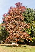 Autumn colours National arboretum, Westonbirt arboretum, Gloucestershire, England, UK
