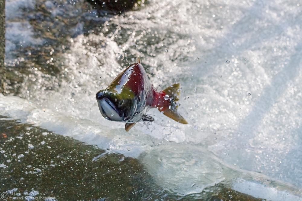 A Male Sockeye Salmon (Oncorhynchus nerka) jumping in the Weaver Creek Spawning Channel near Agassiz, British Columbia, Canada.