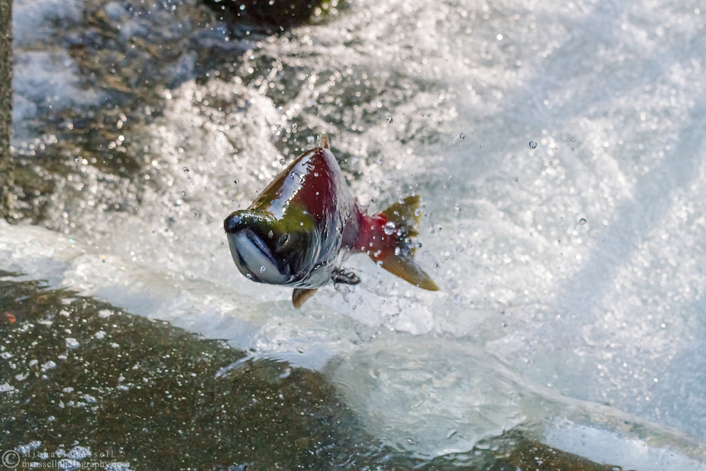 A Male Sockeye Salmon (Oncorhynchus nerka) jumping in the Weaver Creek Spawning Channel near Agassiz, British Columbia, Canada.