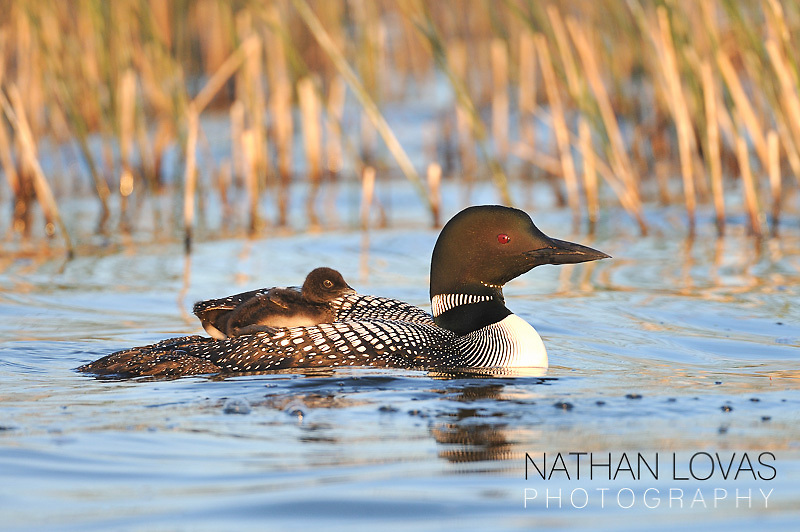 Common Loon (Gavia immer) with young riding on parents back; Minnesota.