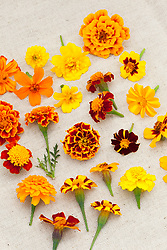 Group of French marigold flowers. Tagetes patula