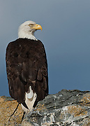 A Bald Eagle, Haliaeetus leucocephalus, rests on a rocky perch north of Vancouver Island, British Columbia, Canada.