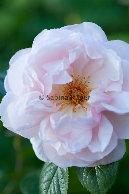 Rosa 'The Generous Gardener' - English rose by David Austen - climbing rose