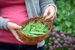 Harvesting peas - Pisum sativum - into a basket.