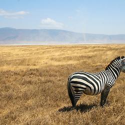 Zebra in the Ngorogoro crater, Tanzania.