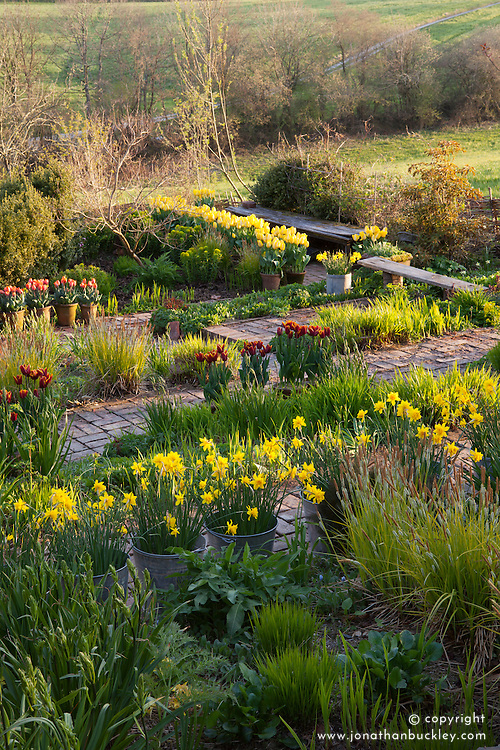 The brick garden at Glebe Cottage in spring. Narcissus jonquilla 'Flore Pleno' (Also known as Narcissus x odorus Plenus) in galvanised buckets and Tulipa 'Abu Hassan' and T. 'Yellow Purissima' in terracotta pots