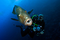 Diver and Immature Napoleon Wrasse