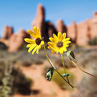 Closeup of Prarie Sunflowers with sandstone rock formations in the background, Arches National Park, Utah, USA.